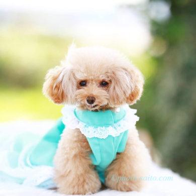犬,ドレス,青,ブルー,フリル